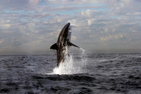 The photo that changed my life.  Great White Shark Breaching, South Africa