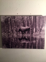 $50 11 x14 bull moose reflection