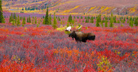 Alaska Moose, Denali National Park. Recommend 16x48 canvas print
