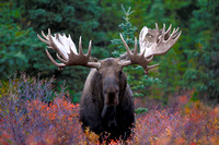 Huge Bull Moose, Denali National Park