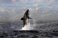 Great White Shark Breaching in South Africa.  A rare sight to see. Location famous now on shark week