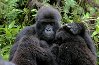 Twins.  Part of the Susa group of Mountains gorillas in Rwanda.