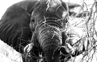 African elephant, acacia tree, black and white