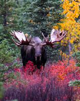 Love the colors behind this huge bull moose.