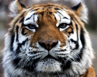 Tiger Upclose.  Photographed this at the Bronx Zoo, but still love it.